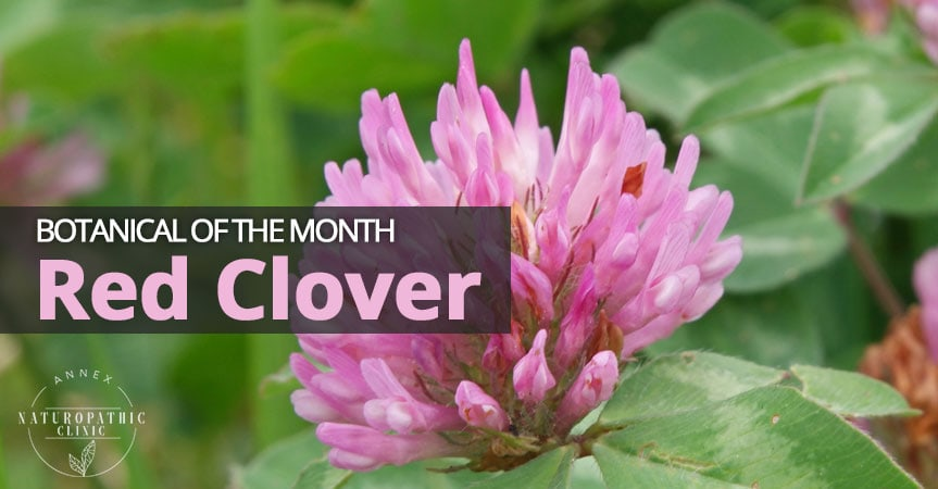 Botanical of the Month - Red Clover | Annex-Naturopathic-Clinic-Toronto-Naturopathic-Doctor