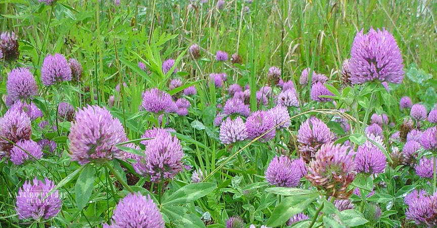 Field of Red Clover | Annex-Naturopathic-Clinic-Toronto-Naturopathic-Doctor