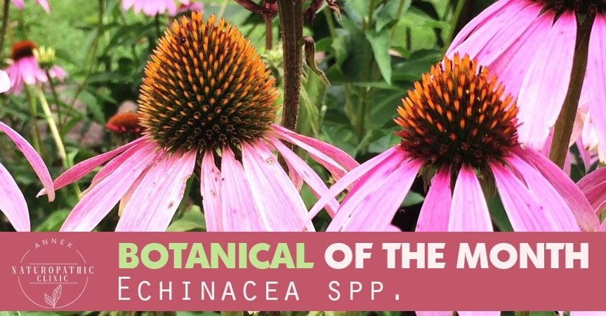 Benefits of Echinacea spp | Annex Naturopathic Clinic | Toronto Naturopaths