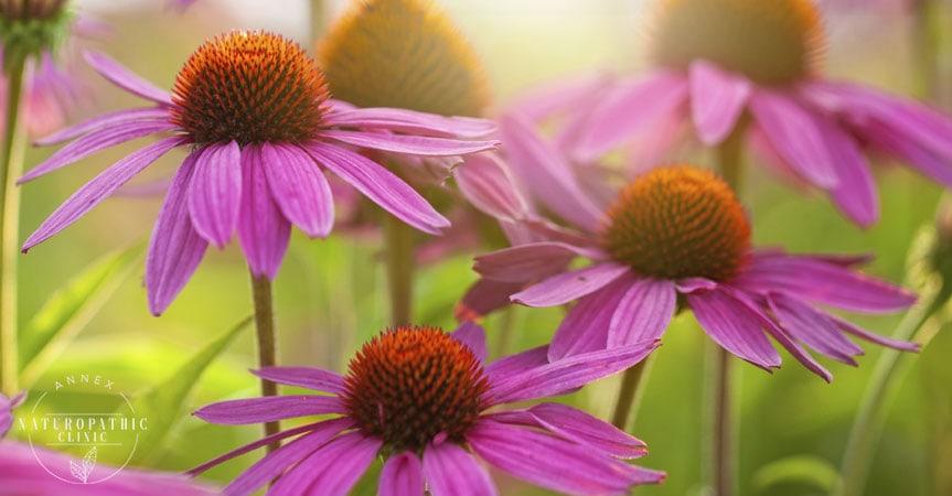 a field of Echinacea spp | Annex Naturopathic Clinic | Toronto Naturopaths